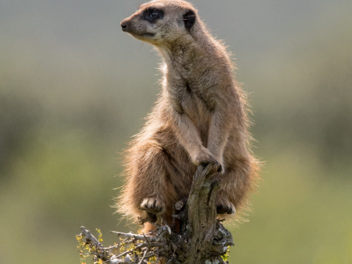 Suricate/Meerkat